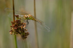Dragonfly. At morning ,with water drops royalty free stock image