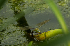 Dragonfly in macro. Dragonfly at morning ,with water drops royalty free stock photo