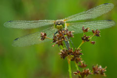 Dragonfly in macro. Dragonfly at morning ,with water drops in nature royalty free stock photo