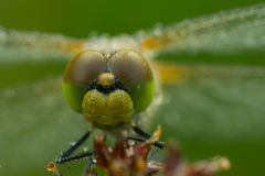 Dragonfly in macro. Dragonfly at morning ,with water drops in nature stock photo