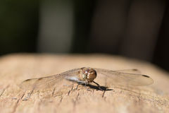 Dragonfly in macro. Dragonfly  in macro  in the nature in the wood stock images