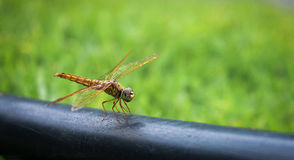 Dragonfly macro. Orange dragonfly perched on plastic pipe Stock Photography