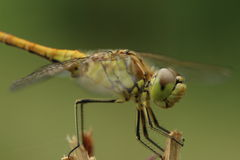 Dragonfly. Macro photo from realy close by Stock Photo