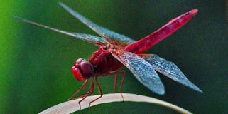 Dragonfly. A macro picture of a small dragonfly in a plant Stock Images