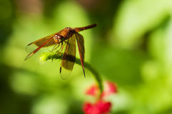 Dragonfly. Macro of a dragonfly resting on a plant Royalty Free Stock Images