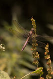 Dragonfly. Resting in the sun stock photo