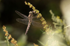 Dragonfly. Resting in the sun stock images