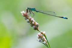 Damselfly eating. Dragonfly resting in the sun stock images