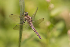 Dragonfly. Resting in the sun royalty free stock photography