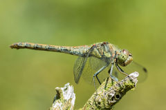 Dragonfly. In macro ,resting in the sun royalty free stock photo
