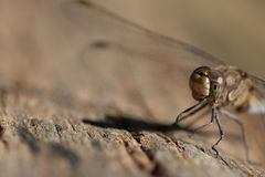 Dragonfly. In macro ,resting in the sun royalty free stock photography