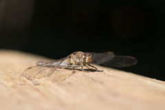 Dragonfly. In macro ,resting in the sun stock images
