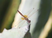 Dragonfly macro Stock Photo