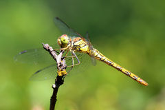 Dragonfly. Macro Stock Photos