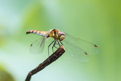 Dragonfly, macro. Royalty Free Stock Images