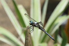 Dragonfly. A macro taken with a telephoto lens of a dragonfly on an impala horn Stock Photography