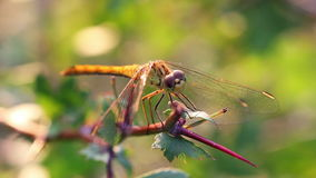 Dragonfly Macro stock video