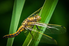 Dragonfly-macro Royalty Free Stock Image