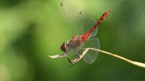 Dragonfly macro. Macro view of an red dragonfly Ruddy darter male (Sympetrum sanguineum) preparing attack stock video