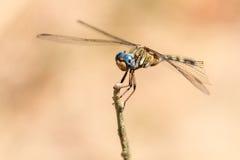 Dragonfly madagascar. Beautiful dragonfly in Isalo national park, Madagascar. Could be Neodythemis hildebrandti royalty free stock photos