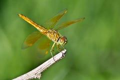 Dragonfly Makro- Obrazy Royalty Free