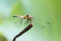 Dragonfly, makro- Obrazy Royalty Free