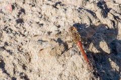 Dragonfly Makro- Zdjęcie Royalty Free