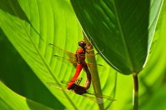 Dragonfly Mate Stock Image