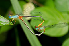 Dragonfly mating Royalty Free Stock Photos