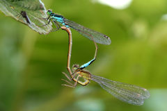 Dragonfly mating. Two dragonfly's mating situated on green background Royalty Free Stock Photography