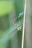 Dragonfly mating Stock Photo