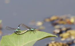 Dragonfly mating Royalty Free Stock Photography