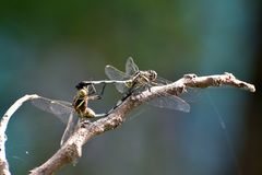 Mating dragonfly in cartwheel position. Dragonfly mating involves acrobatic moves, biting and scratching, and flinging sperm. This position during copulation Stock Photography