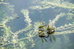Dragonfly is Mating and Laying Eggs Royalty Free Stock Photography