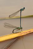 Dragonfly mating over a lake Stock Photos