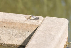 Dragonfly in mating Royalty Free Stock Photography