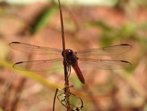 Dragonfly during mating season, Costa rica Royalty Free Stock Images