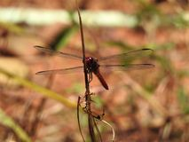 Dragonfly during mating season, Costa rica Stock Photography