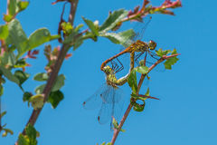 Dragonfly mating Royalty Free Stock Image