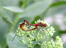 Dragonfly Mating Royalty Free Stock Photo