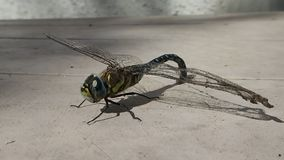 Dragonfly matted with spider silk leaving the frame stock video
