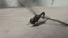 Dragonfly matted with spider silk resting stock video footage