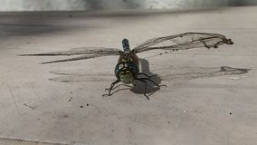 Dragonfly matted with spider silk trying to fly stock video