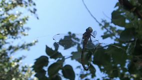 Dragonfly matted in a spider web stock footage
