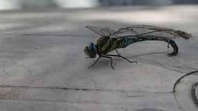 Dragonfly with matted wings with spider silk stock video