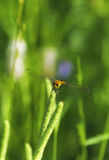 Dragonfly on meadow Stock Image