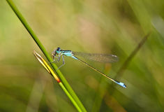 Dragonfly at mealtimes Stock Image