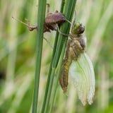 Dragonfly metamorphosis Stock Photos
