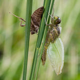 Dragonfly metamorphosis. New generation of the Eurasian Baskettail (Epitheca bimaculata). Metamorphosis stock image