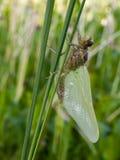 Dragonfly metamorphosis Royalty Free Stock Photo